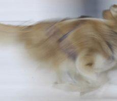 Sled dogs of Whistler