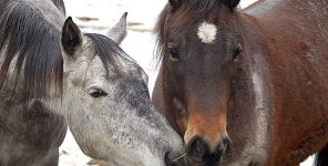 Charges dropped against three men in Alberta wild horse case