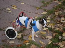Paralysis doesn't slow Duke down; <br />all he needs now is a home!